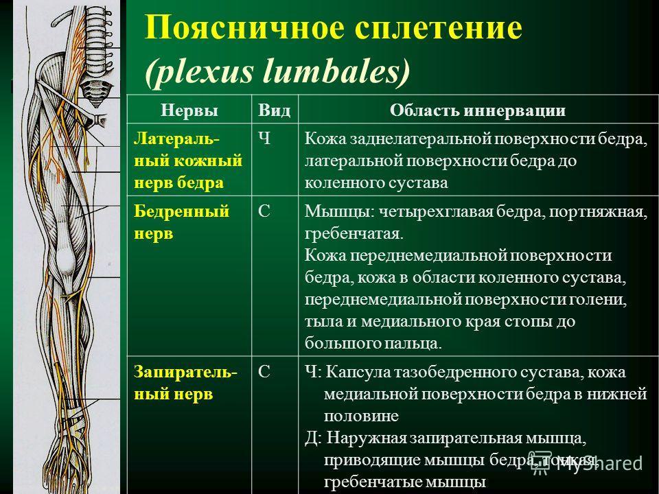 Поясничное сплетение (plexus lumbales) НервыВидОбласть иннервации Латераль- ный кожный нерв бедра ЧКожа заднелатеральной поверхности бедра, латеральной поверхности бедра до коленного сустава Бедренный нерв СМышцы: четырехглавая бедра, портняжная, гре