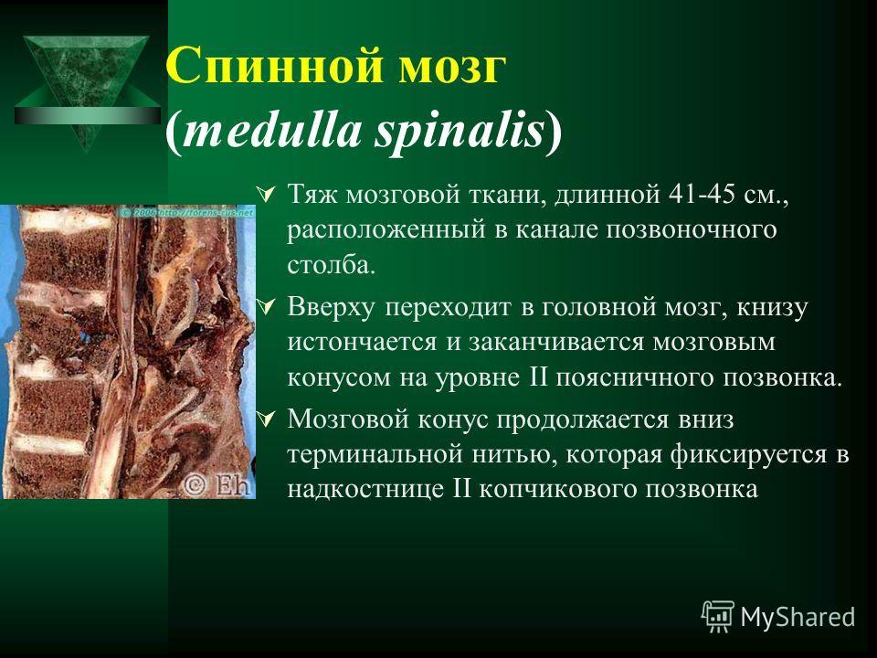 Спинной мозг (medulla spinalis) Тяж мозговой ткани, длинной 41-45 см., расположенный в канале позвоночного столба. Вверху переходит в головной мозг, книзу истончается и заканчивается мозговым конусом на уровне II поясничного позвонка. Мозговой конус