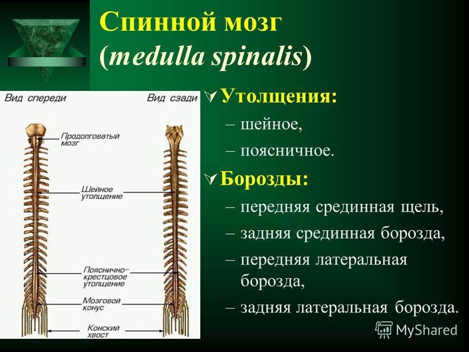 Утолщения: –шейное, –поясничное. Борозды: –передняя срединная щель, –задняя срединная борозда, –передняя латеральная борозда, –задняя латеральная борозда. Спинной мозг (medulla spinalis)