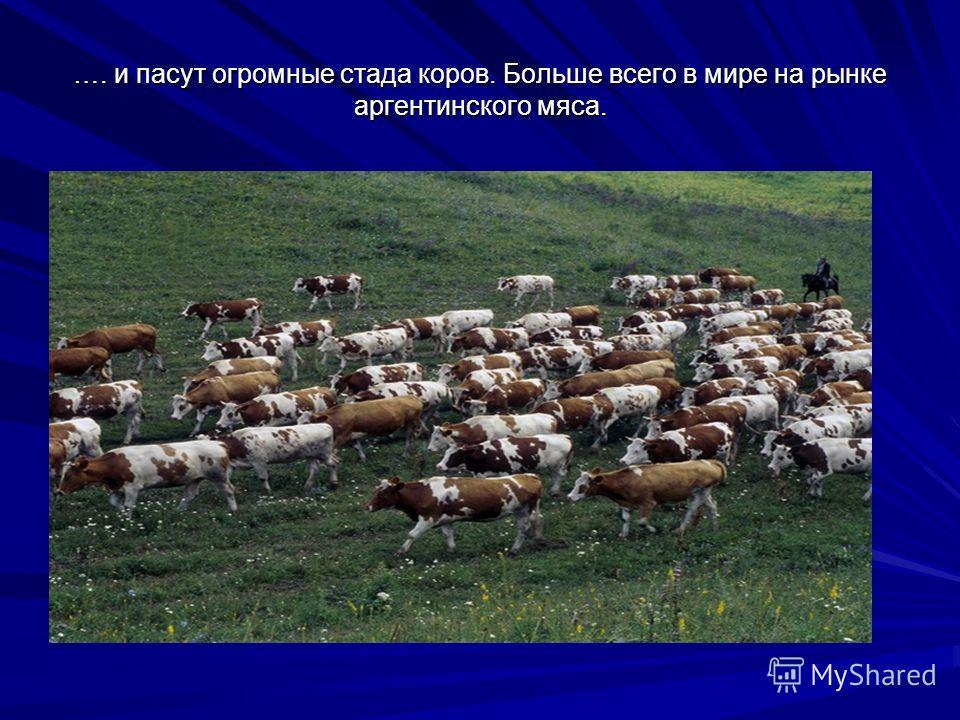 …. и пасут огромные стада коров. Больше всего в мире на рынке аргентинского мяса.
