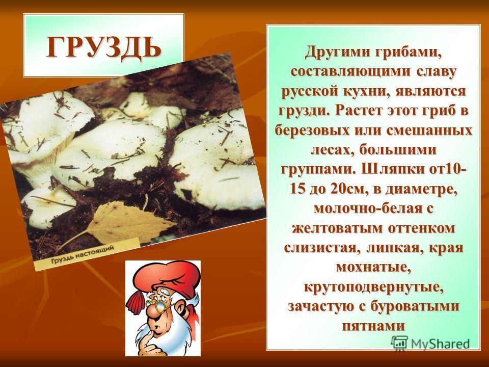 ГРУЗДЬ Другими грибами, составляющими славу русской кухни, являются грузди. Растет этот гриб в березовых или смешанных лесах, большими группами. Шляпки от10- 15 до 20см, в диаметре, молочно-белая с желтоватым оттенком слизистая, липкая, края мохнатые