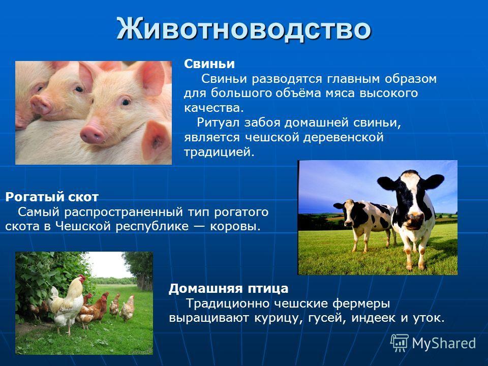Животноводство Свиньи Свиньи разводятся главным образом для большого объёма мяса высокого качества. Ритуал забоя домашней свиньи, является чешской деревенской традицией. Рогатый скот Самый распространенный тип рогатого скота в Чешской республике коро