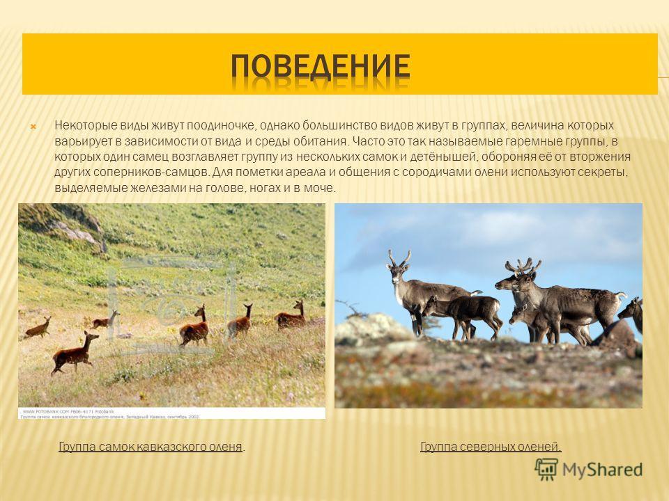 Некоторые виды живут поодиночке, однако большинство видов живут в группах, величина которых варьирует в зависимости от вида и среды обитания. Часто это так называемые гаремные группы, в которых один самец возглавляет группу из нескольких самок и детё