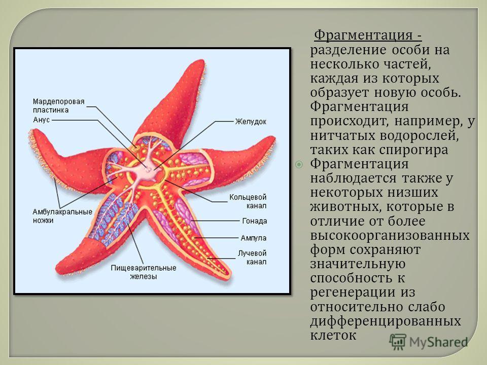 Фрагментация - разделение особи на несколько частей, каждая из которых образует новую особь. Фрагментация происходит, например, у нитчатых водорослей, таких как спирогира Фрагментация наблюдается также у некоторых низших животных, которые в отличие о