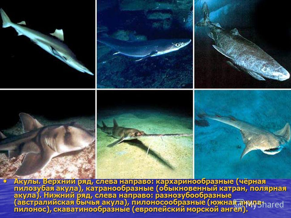 Акулы. Верхний ряд, слева направо: кархаринообразные (чёрная пилозубая акула), катранообразные (обыкновенный катран, полярная акула). Нижний ряд, слева направо: разнозубообразные (австралийская бычья акула), пилоносообразные (южная акула- пилонос), с