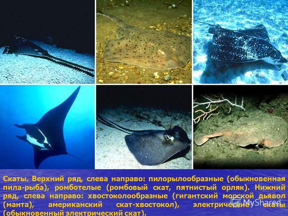 Скаты. Верхний ряд, слева направо: пилорылообразные (обыкновенная пила-рыба), ромботелые (ромбовый скат, пятнистый орляк). Нижний ряд, слева направо: хвостоколообразные (гигантский морской дьявол (манта), американский скат-хвостокол), электрические с