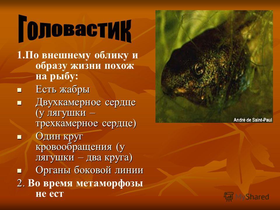 1.По внешнему облику и образу жизни похож на рыбу: Есть жабры Есть жабры Двухкамерное сердце (у лягушки – трехкамерное сердце) Двухкамерное сердце (у лягушки – трехкамерное сердце) Один круг кровообращения (у лягушки – два круга) Один круг кровообращ
