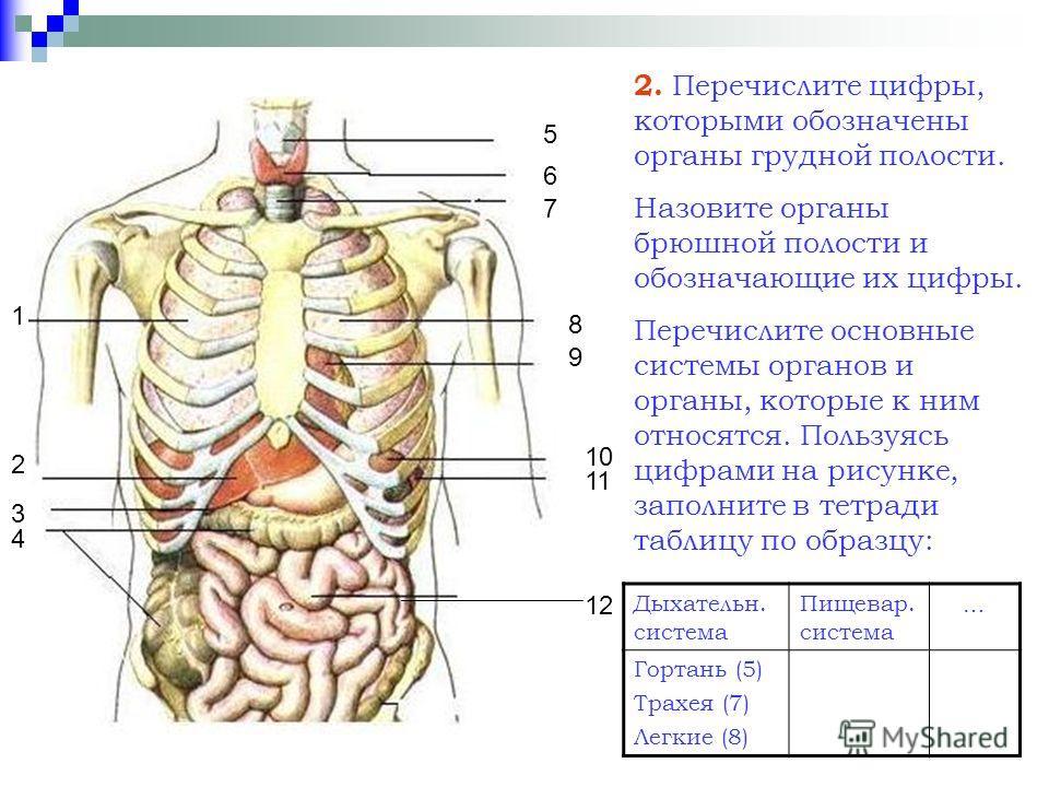 1 2 4 3 5 6 7 8 9 10 11 12 2. Перечислите цифры, которыми обозначены органы грудной полости. Назовите органы брюшной полости и обозначающие их цифры. Перечислите основные системы органов и органы, которые к ним относятся. Пользуясь цифрами на рисунке