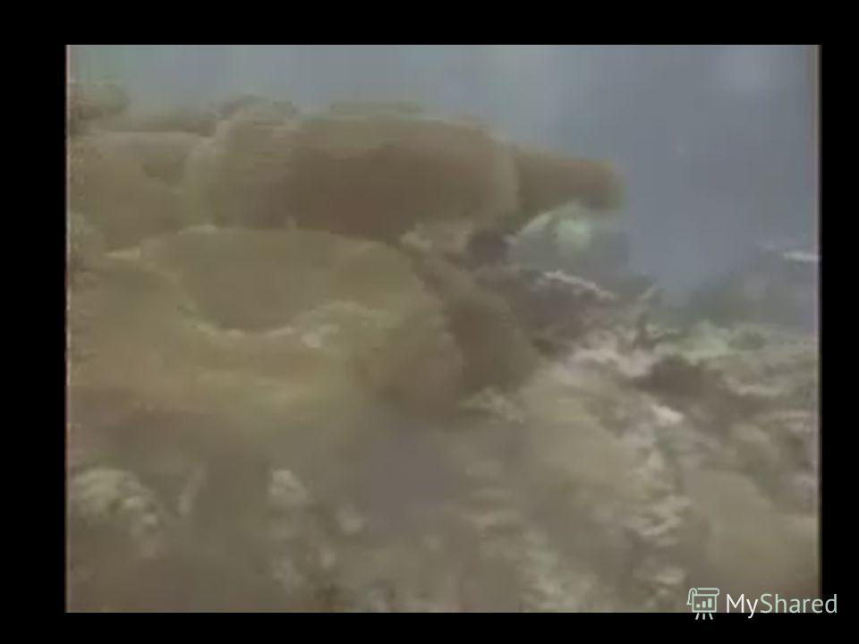 Хрящевые появились в глубокой древности. Челюсти образованы костями первой жаберной дуги. Хрящевые рыбы имеют выраженное рыло ?_________. Скелет слабый, не окостеневший, ?___. Отсутствуют жаберные крышки и плавательный пузырь. Чешуя плакоидная в виде