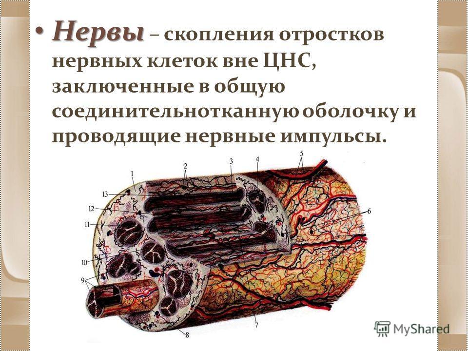 Нервы Нервы – скопления отростков нервных клеток вне ЦНС, заключенные в общую соединительнотканную оболочку и проводящие нервные импульсы.