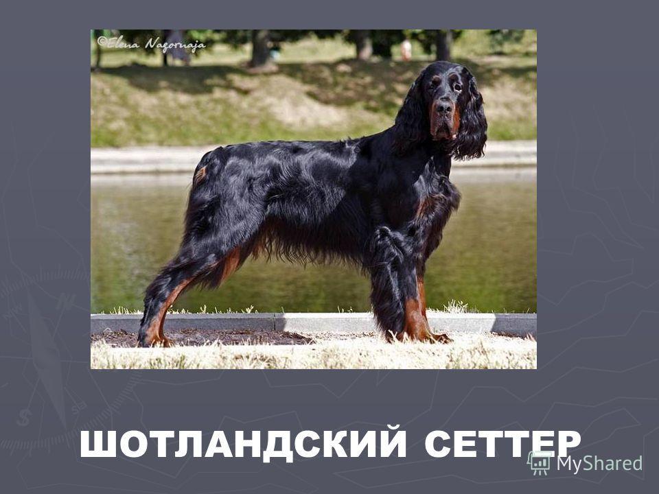 ШОТЛАНДСКИЙ СЕТТЕР