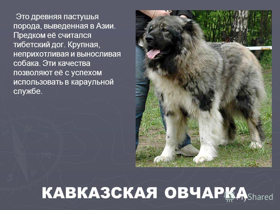 Это древняя пастушья порода, выведенная в Азии. Предком её считался тибетский дог. Крупная, неприхотливая и выносливая собака. Эти качества позволяют её с успехом использовать в караульной службе. КАВКАЗСКАЯ ОВЧАРКА