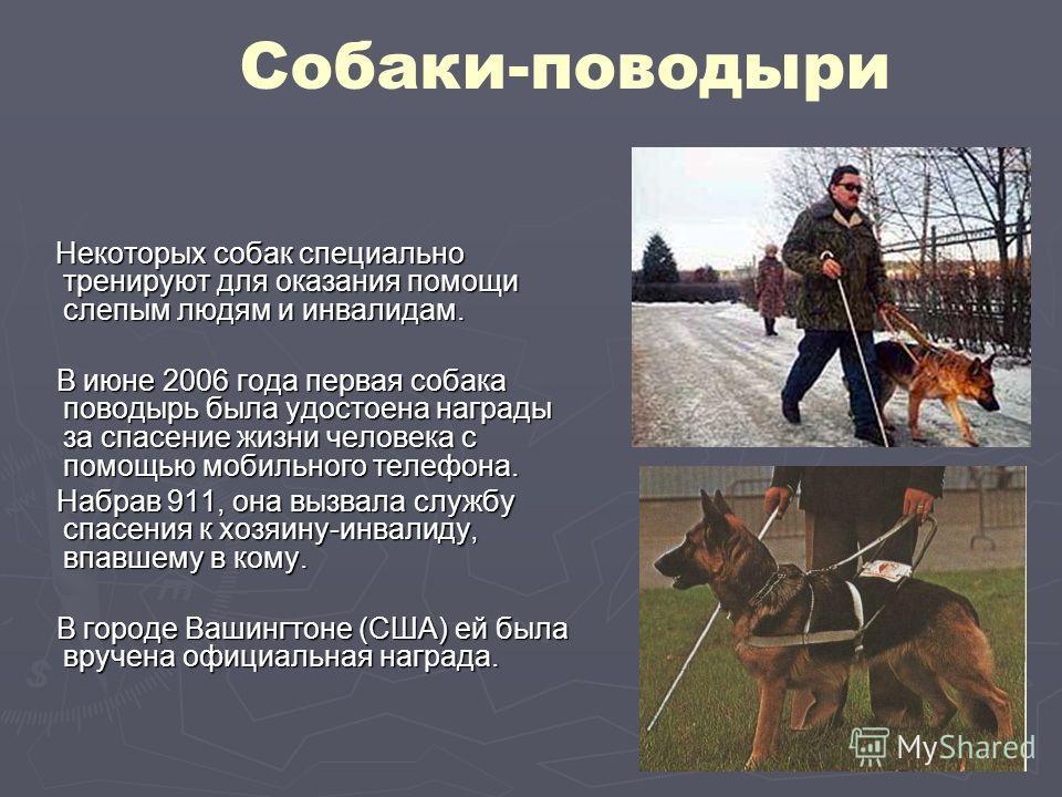 Собаки-поводыри Некоторых собак специально тренируют для оказания помощи слепым людям и инвалидам. Некоторых собак специально тренируют для оказания помощи слепым людям и инвалидам. В июне 2006 года первая собака поводырь была удостоена награды за сп
