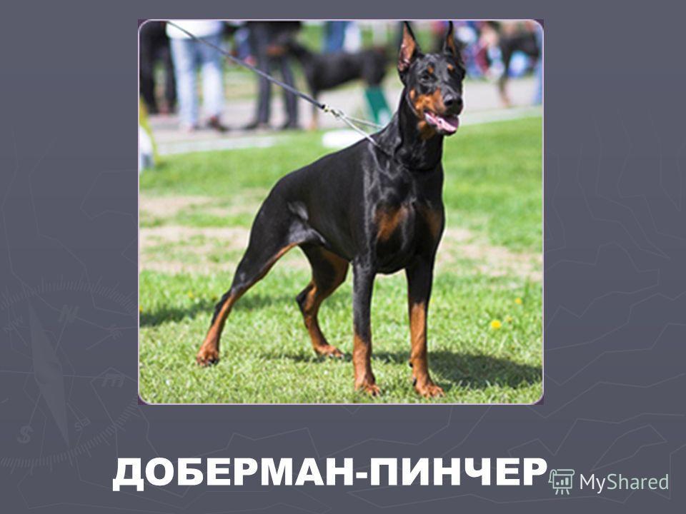 ДОБЕРМАН-ПИНЧЕР