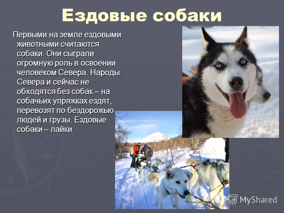 Ездовые собаки Первыми на земле ездовыми животными считаются собаки. Они сыграли огромную роль в освоении человеком Севера. Народы Севера и сейчас не обходятся без собак – на собачьих упряжках ездят, перевозят по бездорожью людей и грузы. Ездовые соб