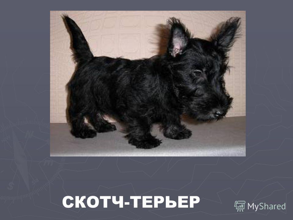 СКОТЧ-ТЕРЬЕР