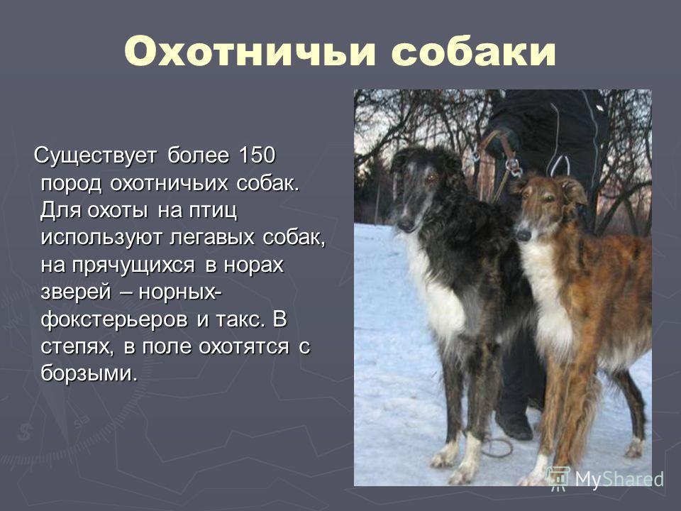 Охотничьи собаки Существует более 150 пород охотничьих собак. Для охоты на птиц используют легавых собак, на прячущихся в норах зверей – норных- фокстерьеров и такс. В степях, в поле охотятся с борзыми. Существует более 150 пород охотничьих собак. Дл