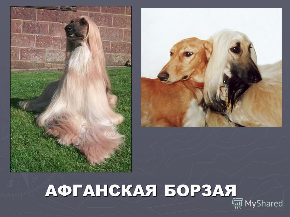 АФГАНСКАЯ БОРЗАЯ