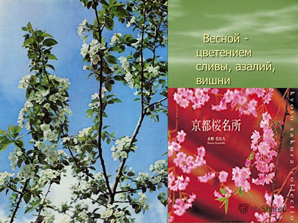 Весной - цветением сливы, азалий, вишни Весной - цветением сливы, азалий, вишни