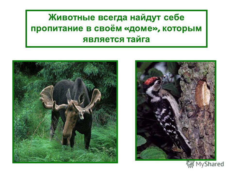 Животные всегда найдут себе пропитание в своём « доме », которым является тайга