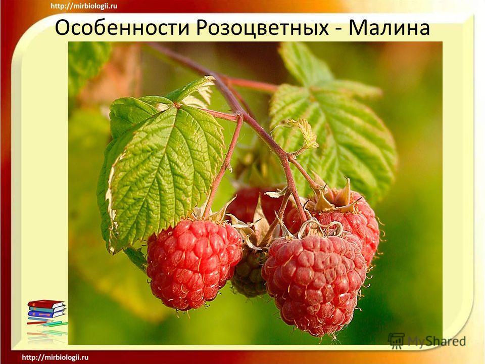 Особенности Розоцветных - Малина.
