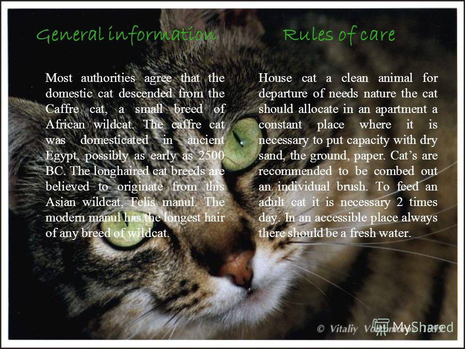 General information Most authorities agree that the domestic cat descended from the Caffre cat, a small breed of African wildcat. The caffre cat was domesticated in ancient Egypt, possibly as early as 2500 BC. The longhaired cat breeds are believed t