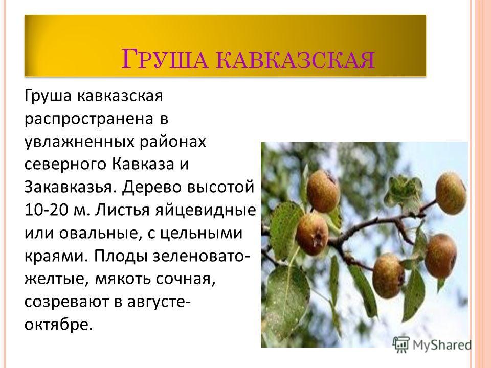 Г РУША КАВКАЗСКАЯ Груша кавказская распространена в увлажненных районах северного Кавказа и Закавказья. Дерево высотой 10-20 м. Листья яйцевидные или овальные, с цельными краями. Плоды зеленовато- желтые, мякоть сочная, созревают в августе- октябре.