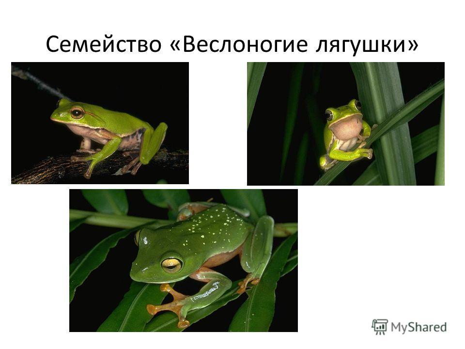 Семейство «Веслоногие лягушки»