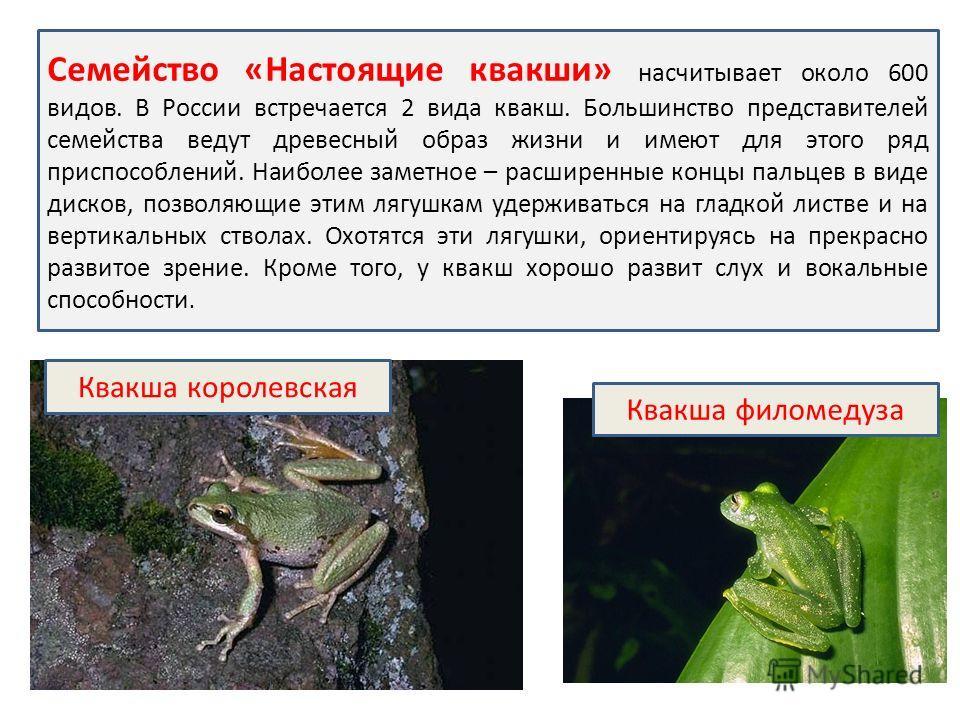 Квакша королевская Квакша филомедуза Семейство «Настоящие квакши» насчитывает около 600 видов. В России встречается 2 вида квакш. Большинство представителей семейства ведут древесный образ жизни и имеют для этого ряд приспособлений. Наиболее заметное