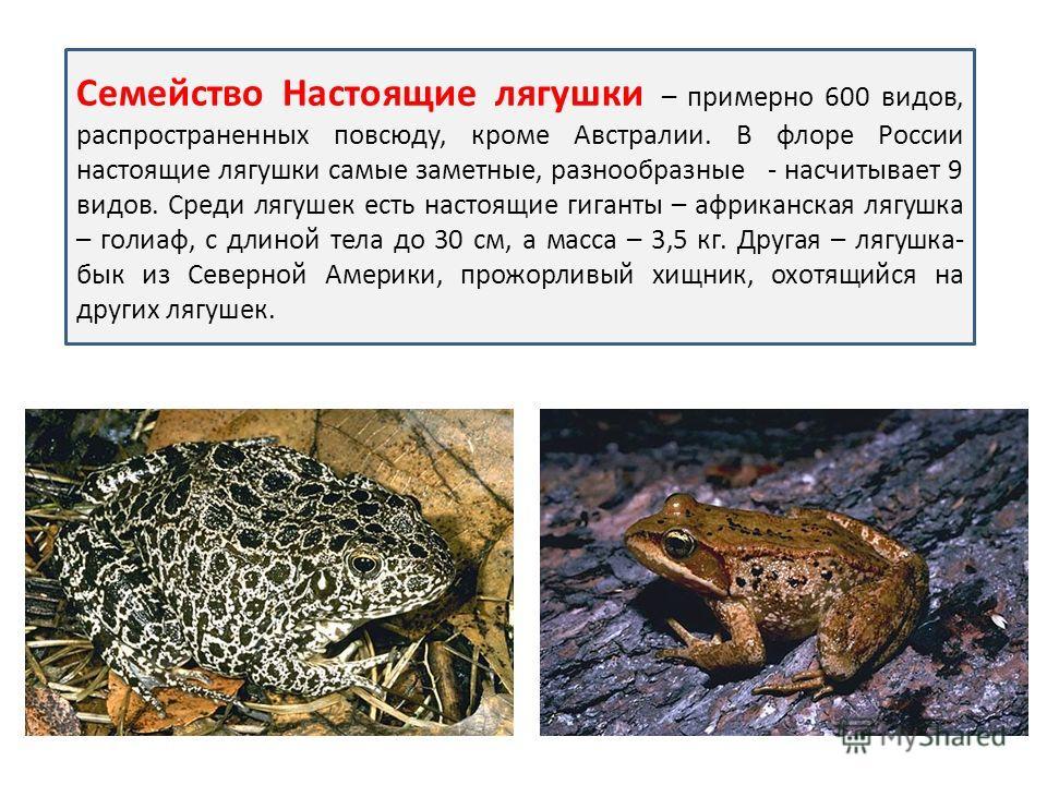 Семейство Настоящие лягушки – примерно 600 видов, распространенных повсюду, кроме Австралии. В флоре России настоящие лягушки самые заметные, разнообразные - насчитывает 9 видов. Среди лягушек есть настоящие гиганты – африканская лягушка – голиаф, с