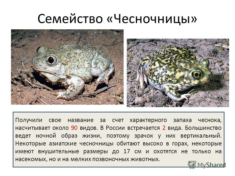 Семейство «Чесночницы» Получили свое название за счет характерного запаха чеснока, насчитывает около 90 видов. В России встречается 2 вида. Большинство ведет ночной образ жизни, поэтому зрачок у них вертикальный. Некоторые азиатские чесночницы обитаю