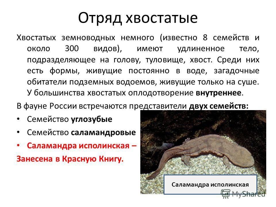 Отряд хвостатые Хвостатых земноводных немного (известно 8 семейств и около 300 видов), имеют удлиненное тело, подразделяющее на голову, туловище, хвост. Среди них есть формы, живущие постоянно в воде, загадочные обитатели подземных водоемов, живущие