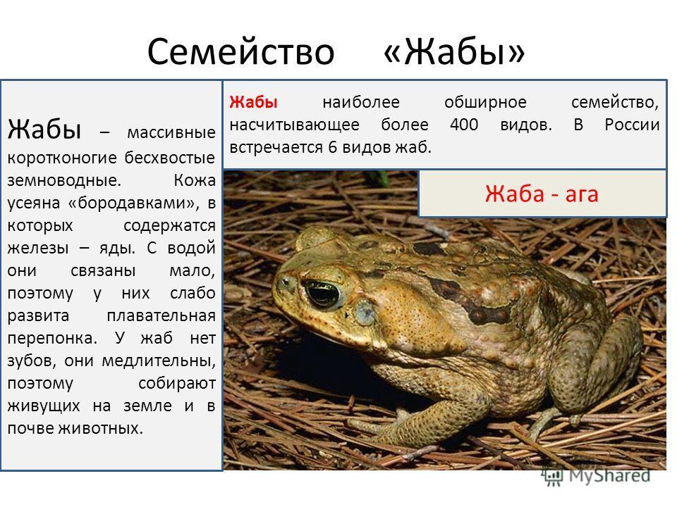 Семейство «Жабы» Жаба - ага Жабы – массивные коротконогие бесхвостые земноводные. Кожа усеяна «бородавками», в которых содержатся железы – яды. С водой они связаны мало, поэтому у них слабо развита плавательная перепонка. У жаб нет зубов, они медлите