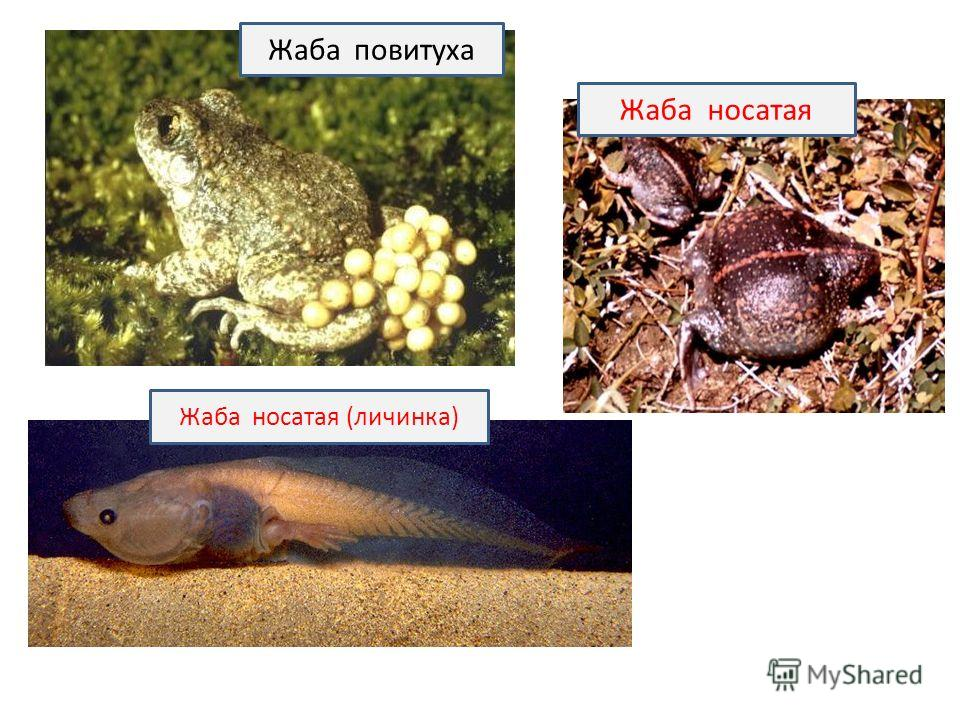 Жаба повитуха Жаба носатая (личинка) Жаба носатая