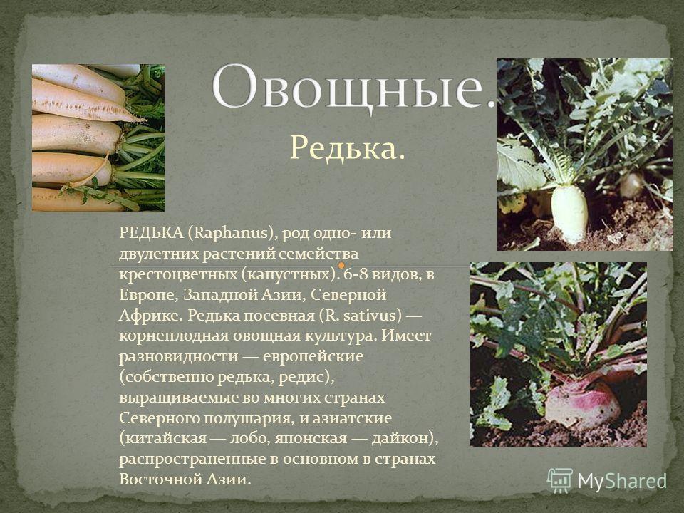 Редька. РЕДЬКА (Raphanus), род одно- или двулетних растений семейства крестоцветных (капустных). 6-8 видов, в Европе, Западной Азии, Северной Африке. Редька посевная (R. sativus) корнеплодная овощная культура. Имеет разновидности европейские (собстве