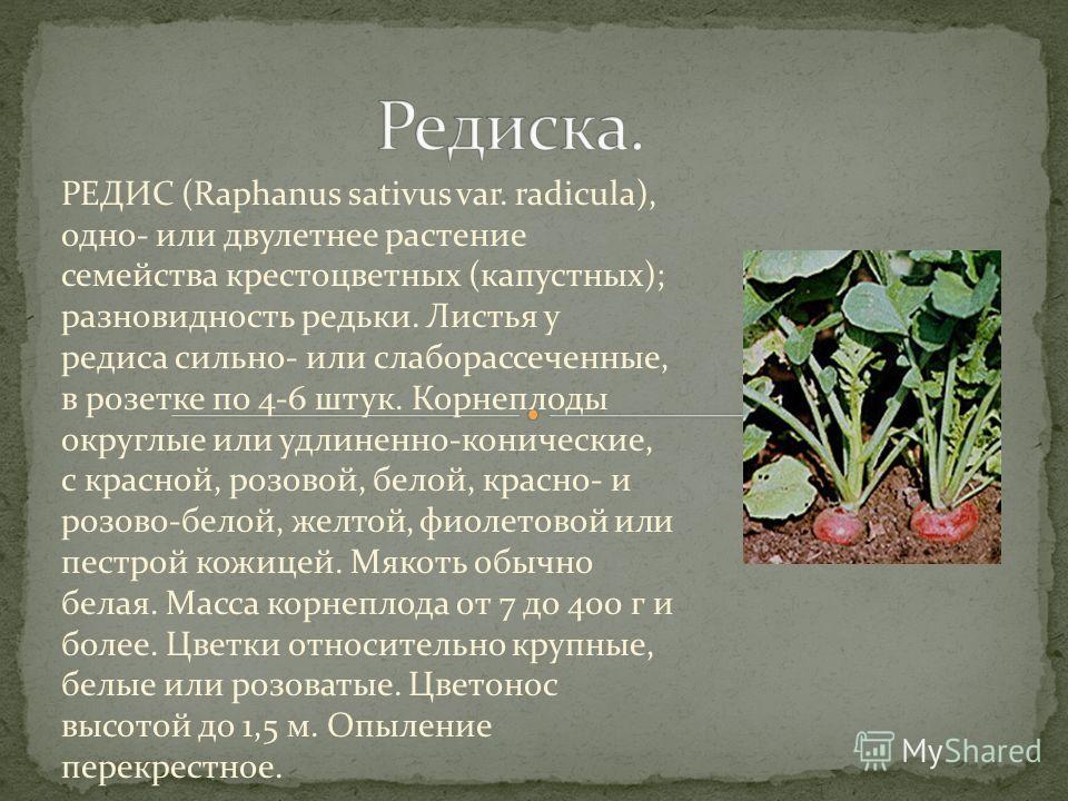 РЕДИС (Raphanus sativus var. radicula), одно- или двулетнее растение семейства крестоцветных (капустных); разновидность редьки. Листья у редиса сильно- или слаборассеченные, в розетке по 4-6 штук. Корнеплоды округлые или удлиненно-конические, с красн