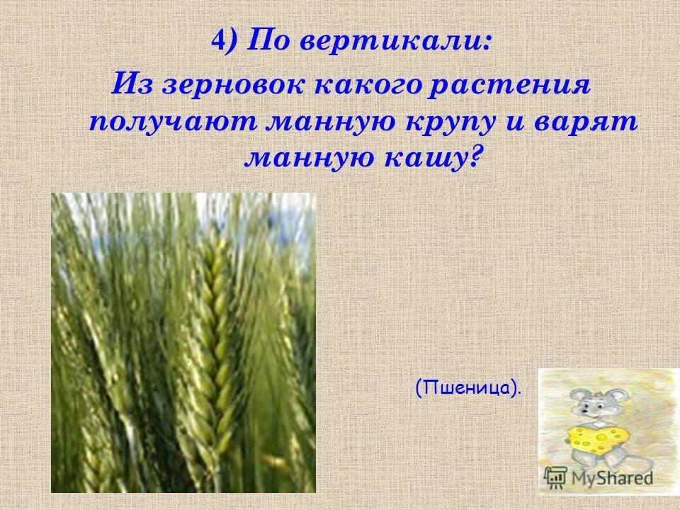 4 ) По вертикали: Из зерновок какого растения получают манную крупу и варят манную кашу? (Пшеница).