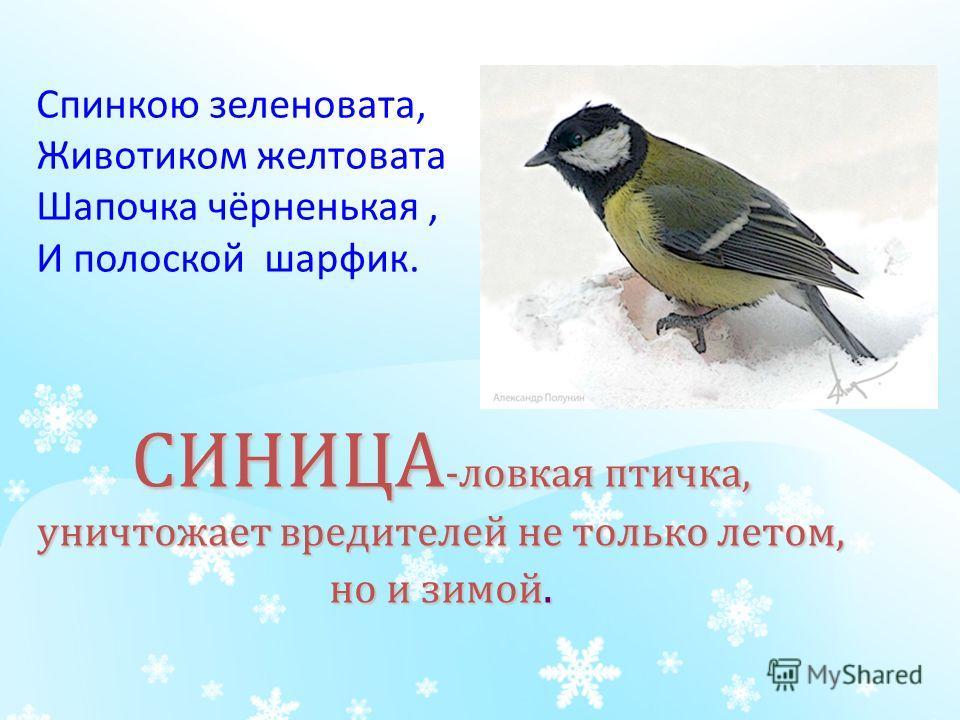 СИНИЦА -ловкая птичка, уничтожает вредителей не только летом, но и зимой. Спинкою зеленовата, Животиком желтовата Шапочка чёрненькая, И полоской шарфик.