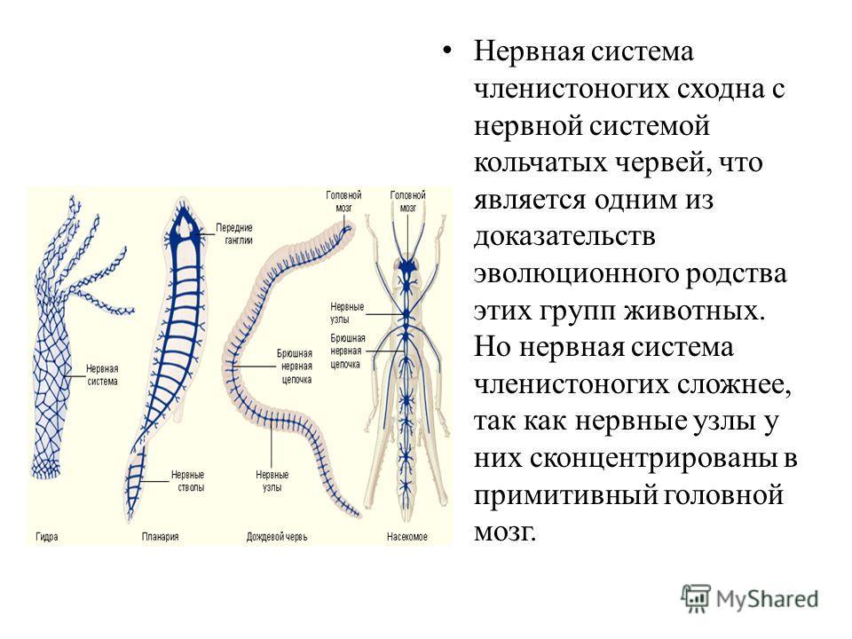 Нервная система членистоногих сходна с нервной системой кольчатых червей, что является одним из доказательств эволюционного родства этих групп животных. Но нервная система членистоногих сложнее, так как нервные узлы у них сконцентрированы в примитивн