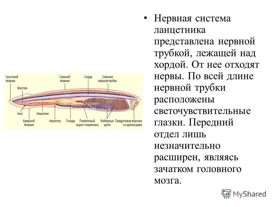 Нервная система ланцетника представлена нервной трубкой, лежащей над хордой. От нее отходят нервы. По всей длине нервной трубки расположены светочувствительные глазки. Передний отдел лишь незначительно расширен, являясь зачатком головного мозга.
