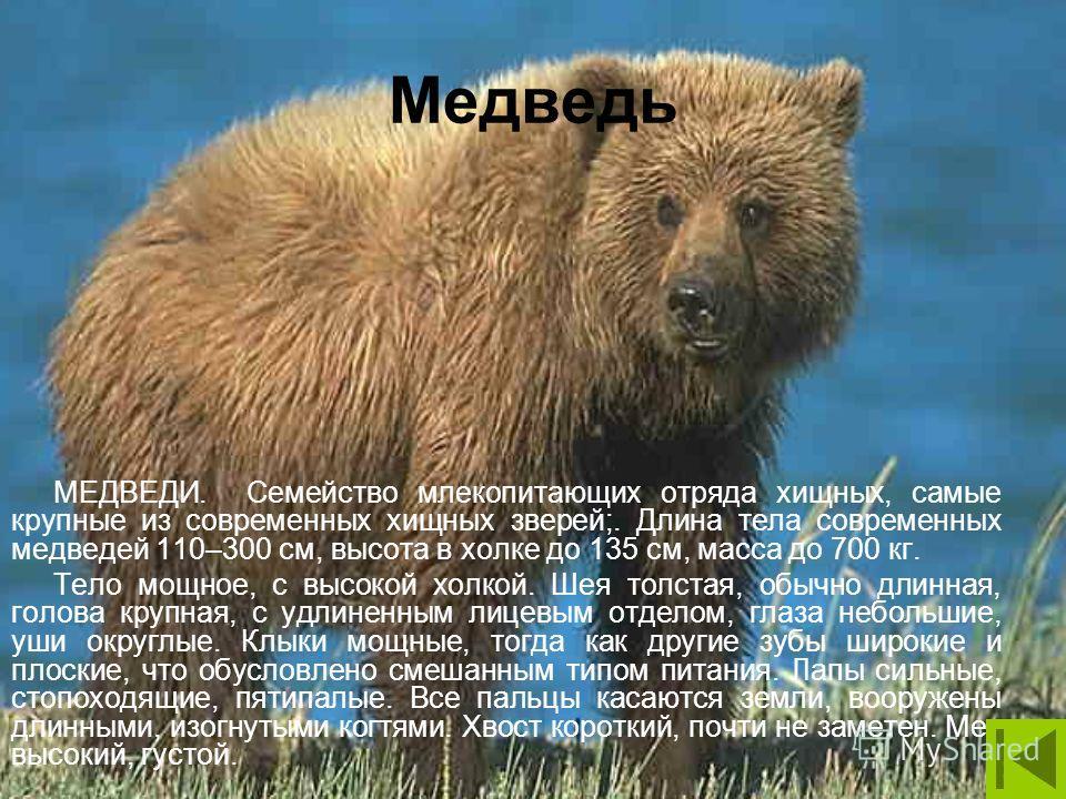 Медведь МЕДВЕДИ. Семейство млекопитающих отряда хищных, самые крупные из современных хищных зверей;. Длина тела современных медведей 110–300 см, высота в холке до 135 см, масса до 700 кг. Тело мощное, с высокой холкой. Шея толстая, обычно длинная, го