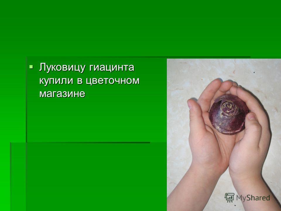 Луковицу гиацинта купили в цветочном магазине Луковицу гиацинта купили в цветочном магазине
