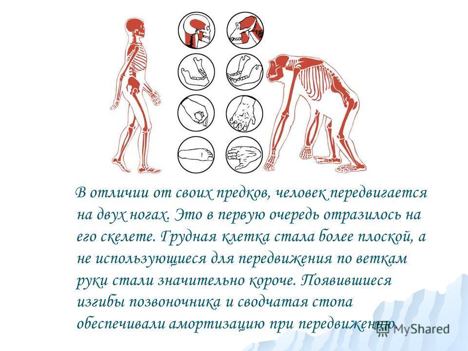В отличии от своих предков, человек передвигается на двух ногах. Это в первую очередь отразилось на его скелете. Грудная клетка стала более плоской, а не использующиеся для передвижения по веткам руки стали значительно короче. Появившиеся изгибы позв