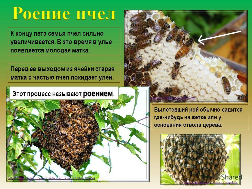 К концу лета семья пчел сильно увеличивается. В это время в улье появляется молодая матка. Перед ее выходом из ячейки старая матка с частью пчел покидает улей. http://www.banka-meda.ru/honey/6-molochko.html http://fotki.yandex.ru/users/nik-likholetov