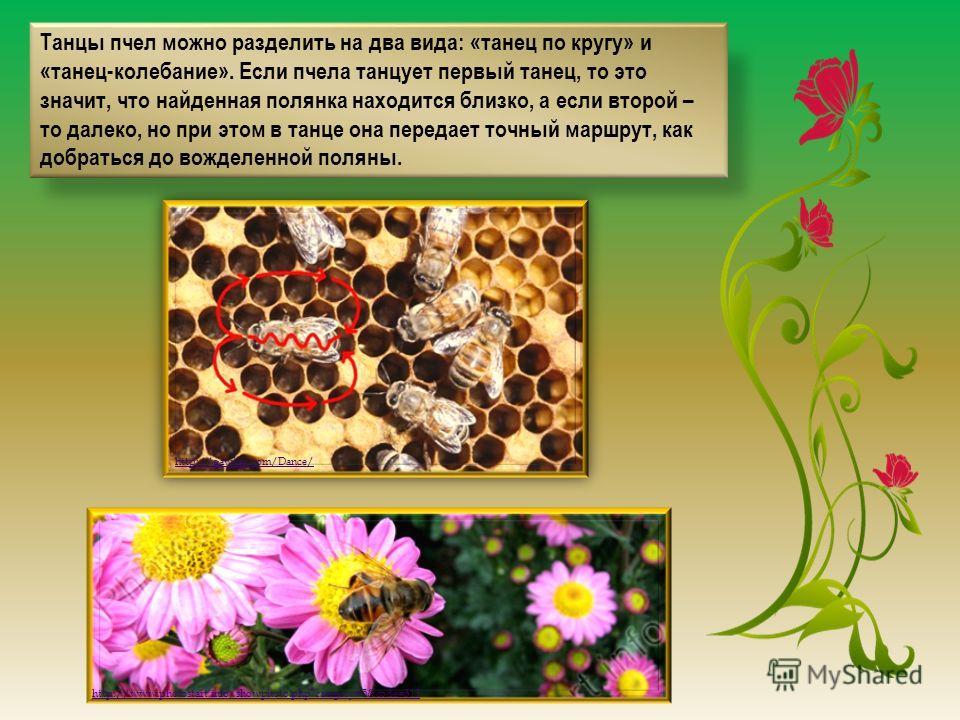 Танцы пчел можно разделить на два вида: «танец по кругу» и «танец-колебание». Если пчела танцует первый танец, то это значит, что найденная полянка находится близко, а если второй – то далеко, но при этом в танце она передает точный маршрут, как добр