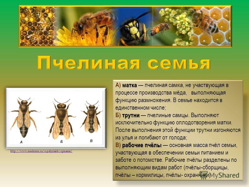 матка трутни рабочие пчёлы А) матка пчелиная самка, не участвующая в процессе производства мёда, выполняющая функцию размножения. В семье находится в единственном числе; Б) трутни пчелиные самцы. Выполняют исключительно функцию оплодотворения матки.