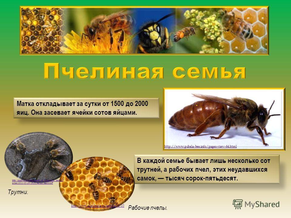 Матка откладывает за сутки от 1500 до 2000 яиц. Она засевает ячейки сотов яйцами. В каждой семье бывает лишь несколько сот трутней, а рабочих пчел, этих неудавшихся самок, тысяч сорок-пятьдесят. http://www.pchela-bee.info/pages-view-64.html http://mu