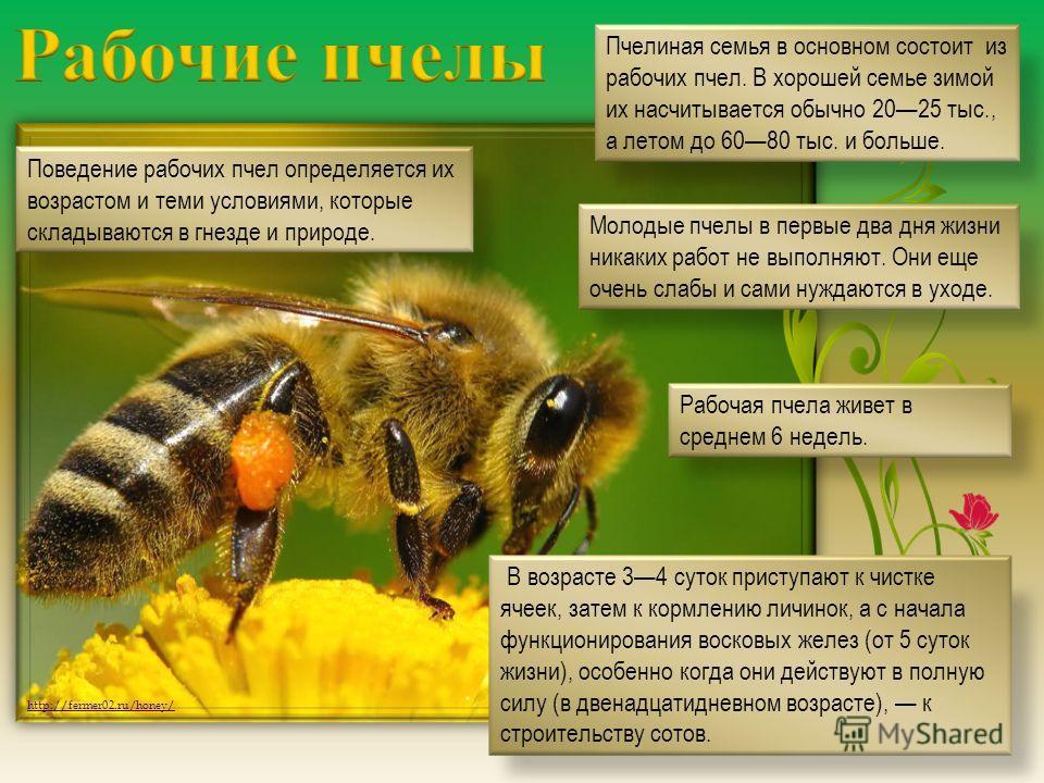 http://fermer02.ru/honey/ Пчелиная семья в основном состоит из рабочих пчел. В хорошей семье зимой их насчитывается обычно 2025 тыс., а летом до 6080 тыс. и больше. Поведение рабочих пчел определяется их возрастом и теми условиями, которые складывают