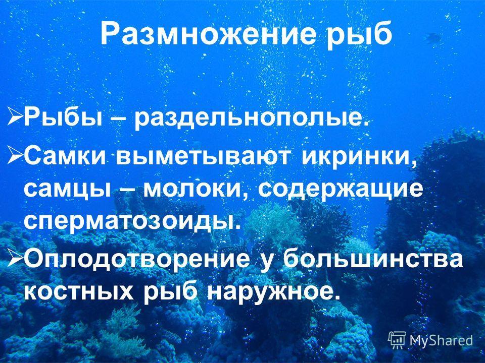 Размножение рыб Рыбы – раздельнополые. Самки выметывают икринки, самцы – молоки, содержащие сперматозоиды. Оплодотворение у большинства костных рыб наружное.
