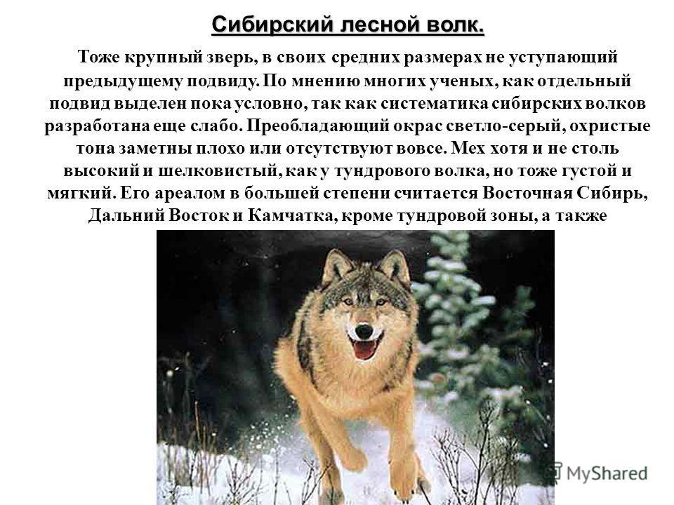 Сибирский лесной волк. Сибирский лесной волк. Тоже крупный зверь, в своих средних размерах не уступающий предыдущему подвиду. По мнению многих ученых, как отдельный подвид выделен пока условно, так как систематика сибирских волков разработана еще сла